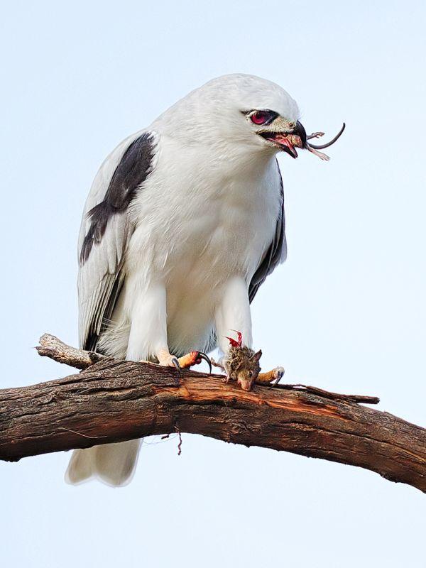Kite Eating Mouse, Horsnell  Jenni , Australia