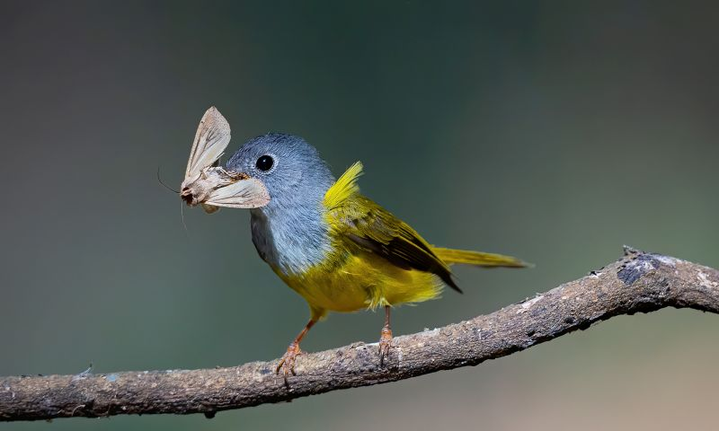 Grey Headed Canary Fly Catcher, Sinha  Barun , India
