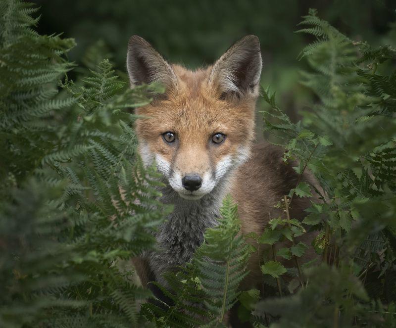 Fox Cub, Norman  Claire , England