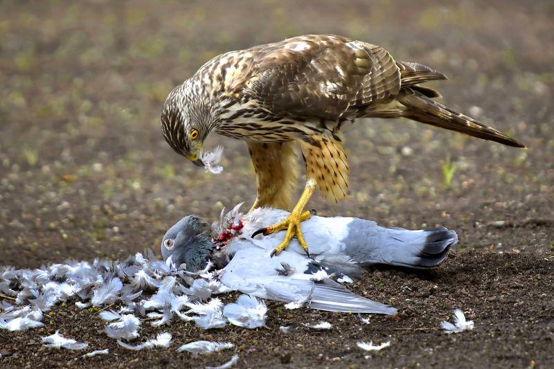 Eating Hawk, Van Echelpoel  Rene , Belgium