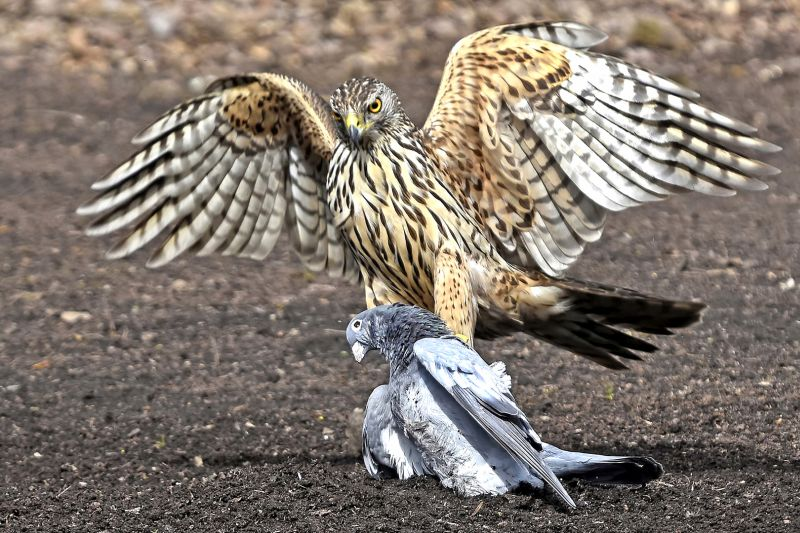 Hawk With Prey, Van Echelpoel  Rene , Belgium