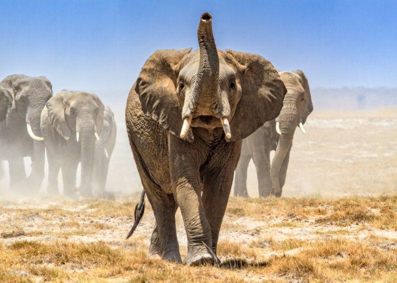 Amboseli Elephants 2, Law  Kai Hay Clement , Hong Kong