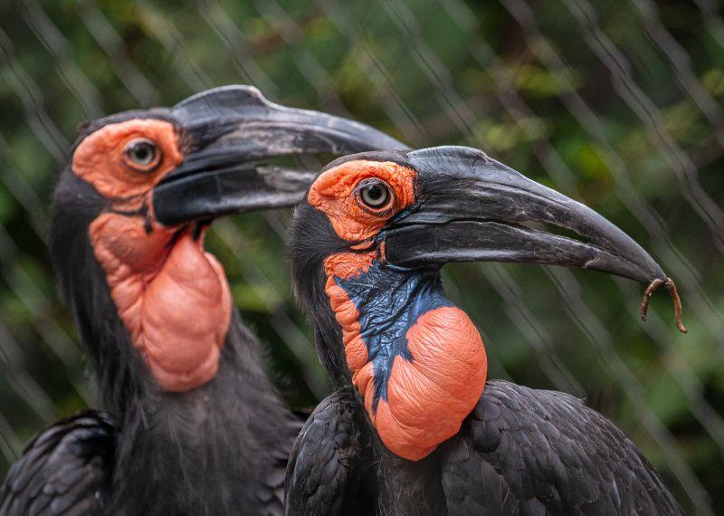 Two Ground Hornbills, Sokolskaya  Valentina , Usa