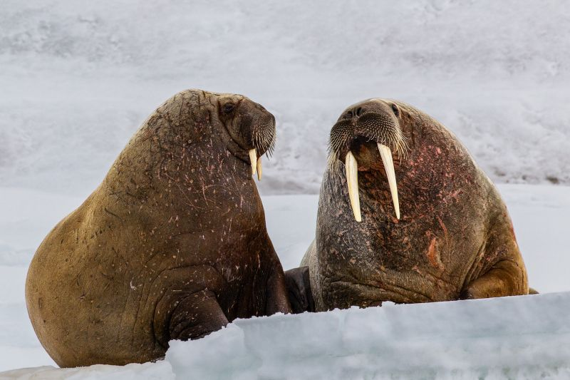 Walruses Duo, Chan  Betty , Canada