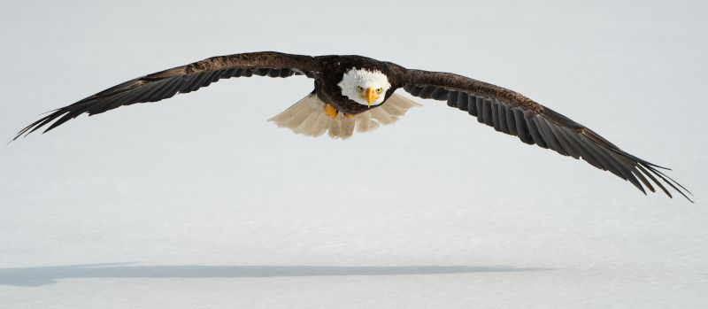 Flying Bald Eagle, Chan  Betty , Canada