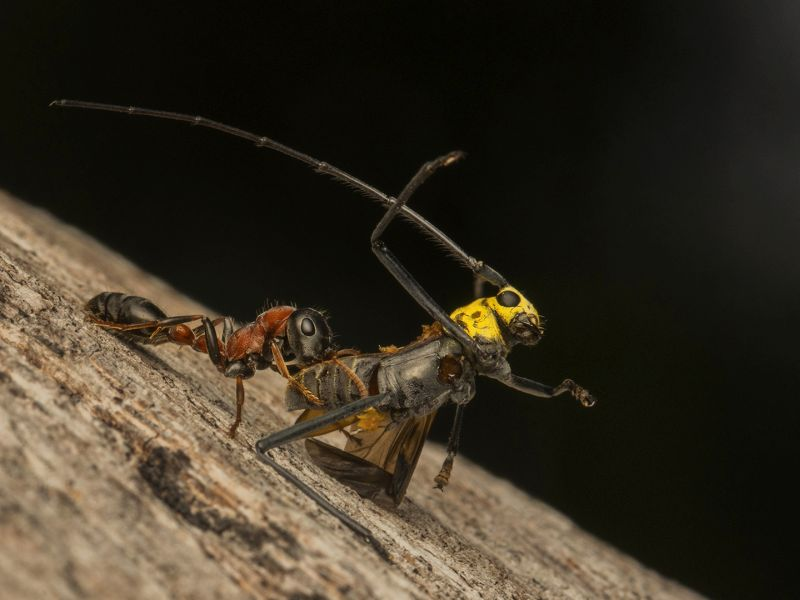 Longhorn And Ant, Fu  Wei , Thailand