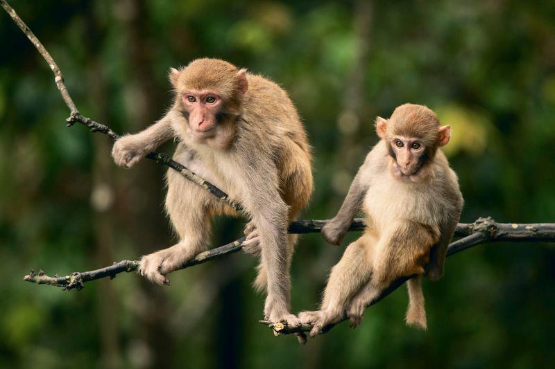 Macaque-watching, Chen  Kunping , China