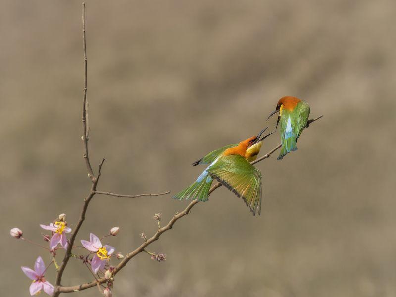 Chating Bird, Fu  Wei , Thailand
