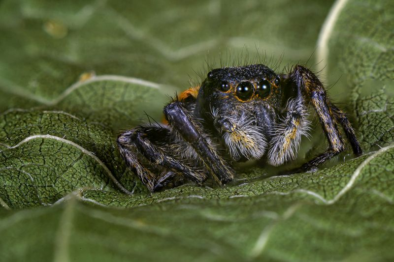 Jumping Spider Nr1, Chalkiadakis  Kostas , Greece