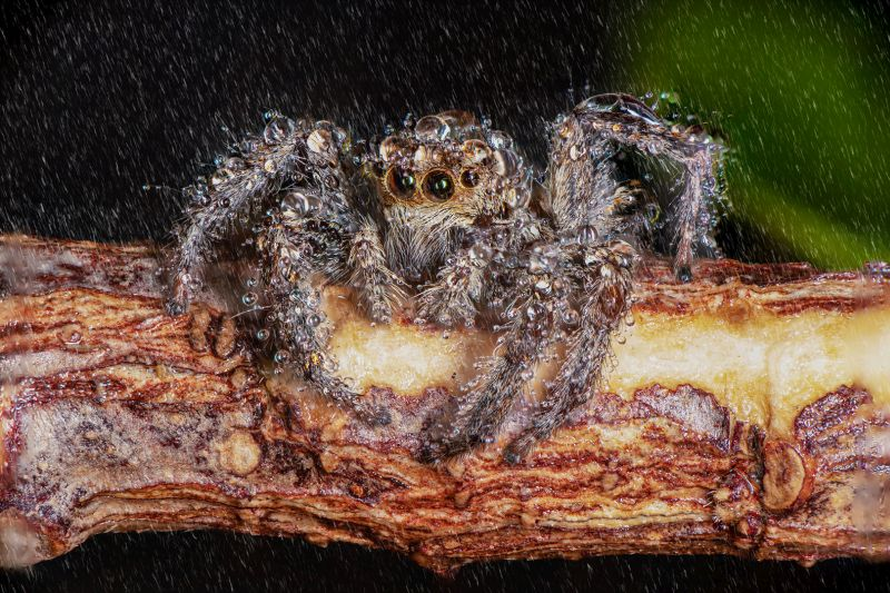 Jumping Spider Nr2, Chalkiadakis  Kostas , Greece