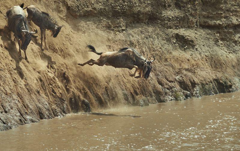Wildebeest Migration 11, Cheung  Sinkai , Australia