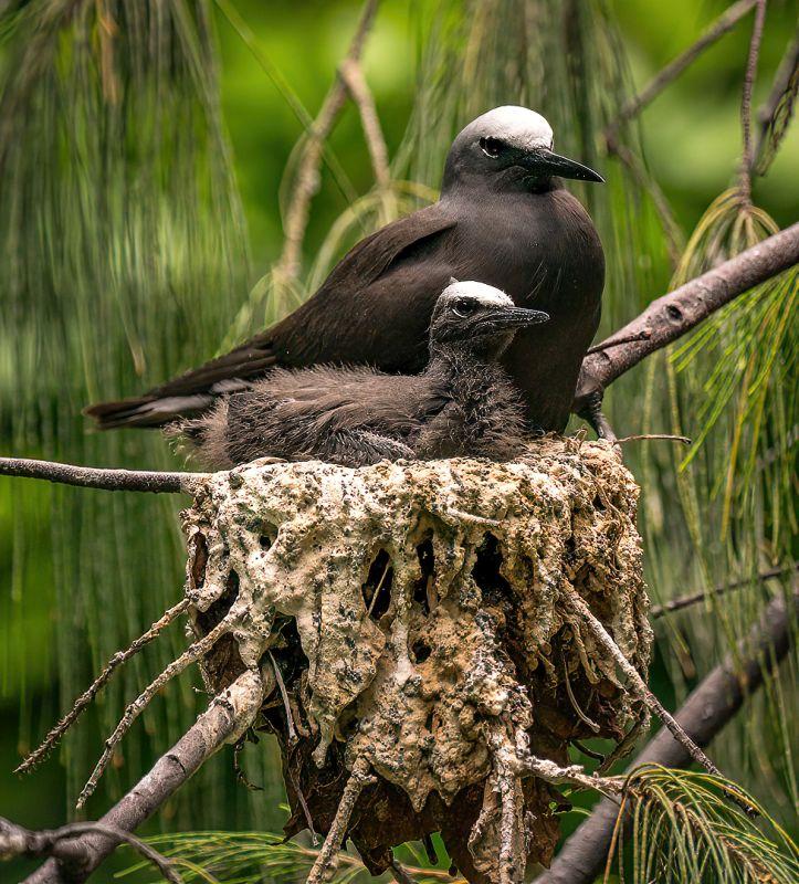 Full Noddy Nest, Kleindienst  Valerie , Australia