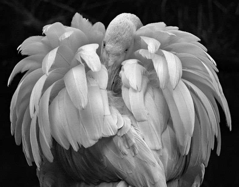 Ruffled Feathers, Gooley  Terry , Australia