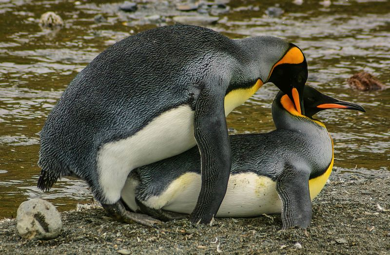 King Penguins Mating, Kleindienst  Valerie , Australia