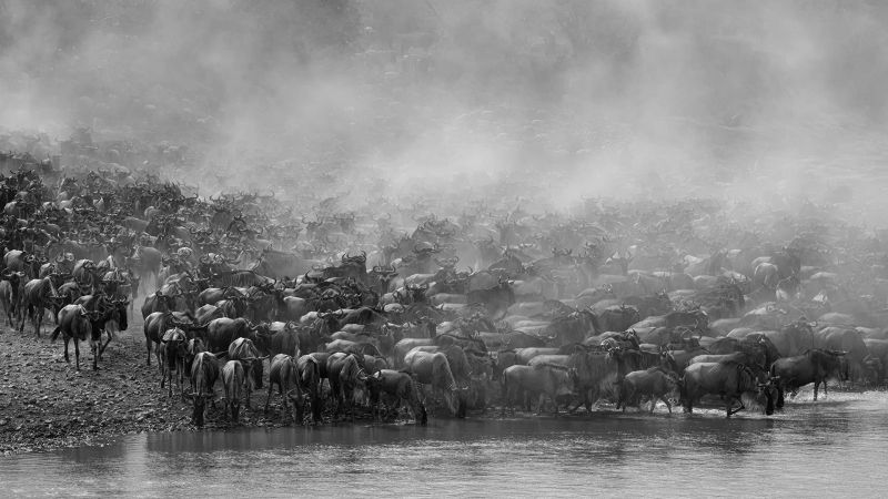 Wildebeest Migration, Johnson  Koshy , England