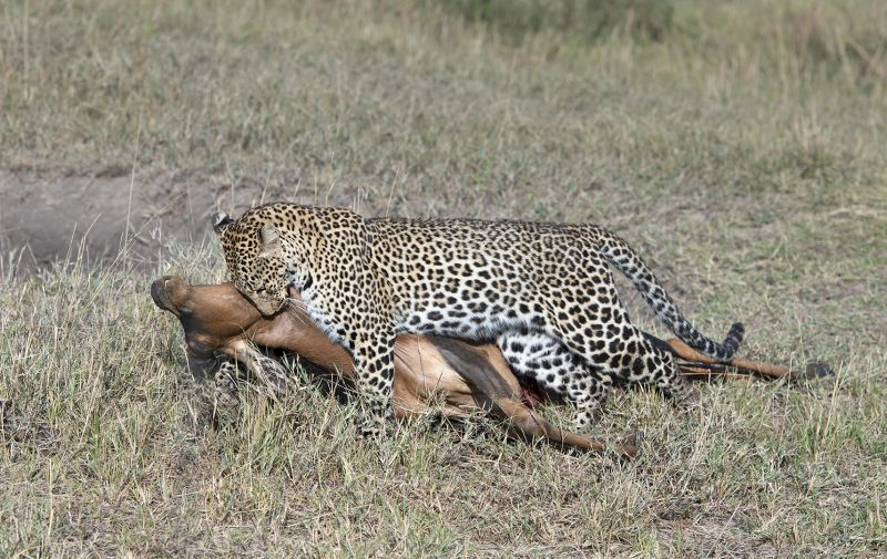 Leopard Dragging Topi, Johnson  Koshy , England