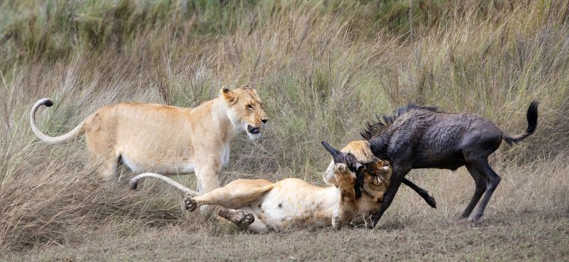 Lioness Killing Wildebeest, Johnson  Koshy , England