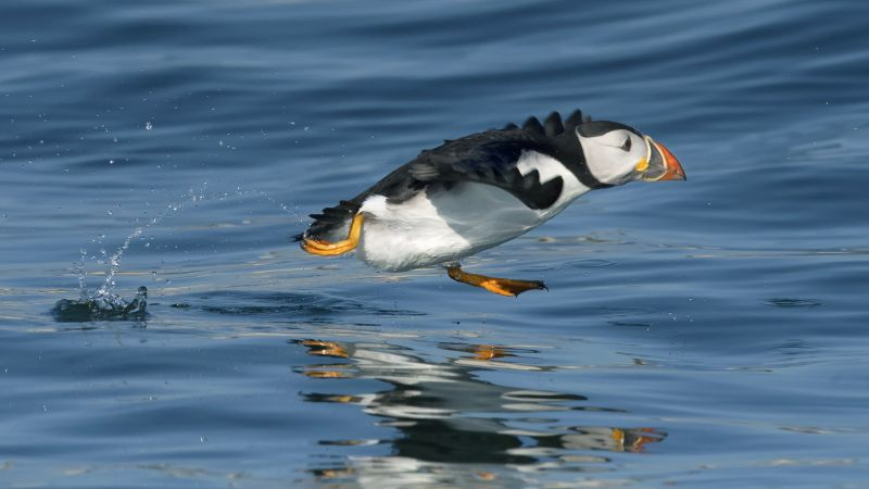 Puffin Running, Johnson  Koshy , England