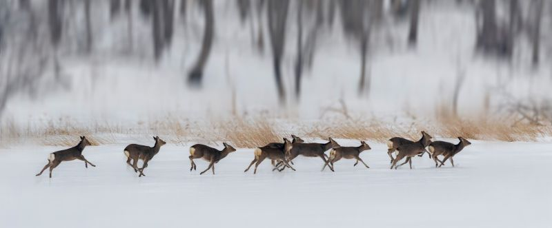 Running Elks, Zhong  Hui , China