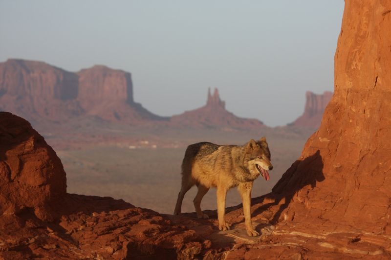 Wolf At Monument Valley, Johnson  Norman , Usa