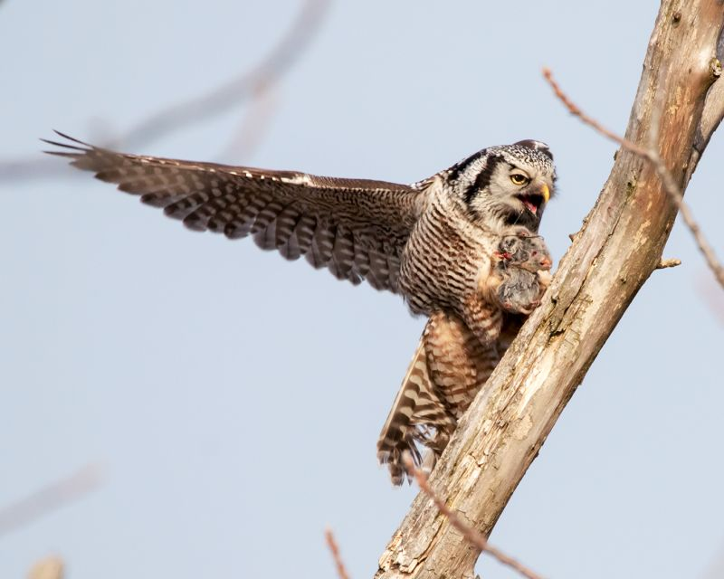 Northern Hawk Owl Caught A Prey 03, Lee  Peter , Canada