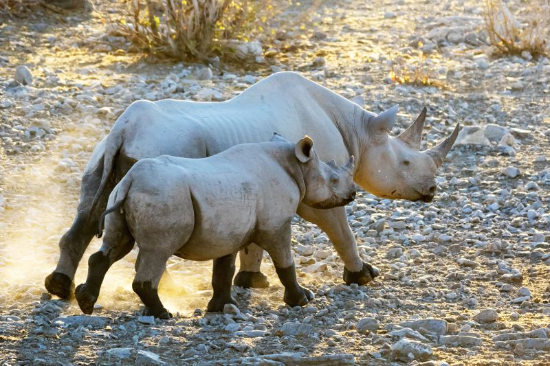 Rhino Mother And Cub Going Home, Lee  Peter , Canada