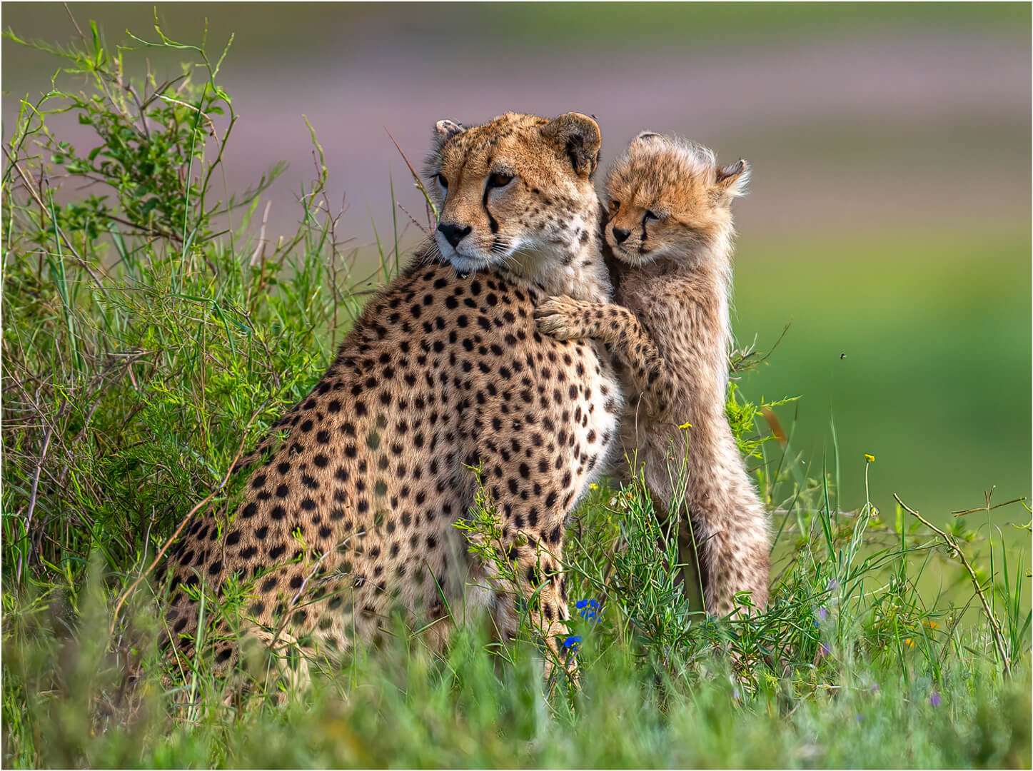 Marcy Starnes Cheetah Kitten 01