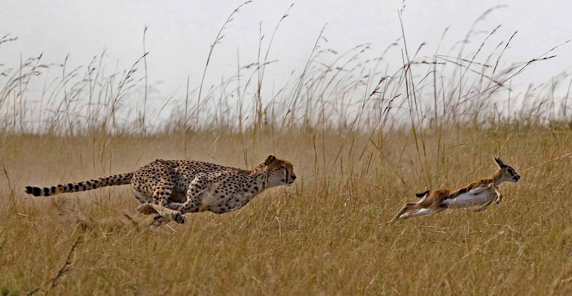 Wolfgang Kaeding Cheetah hunting Gazelle