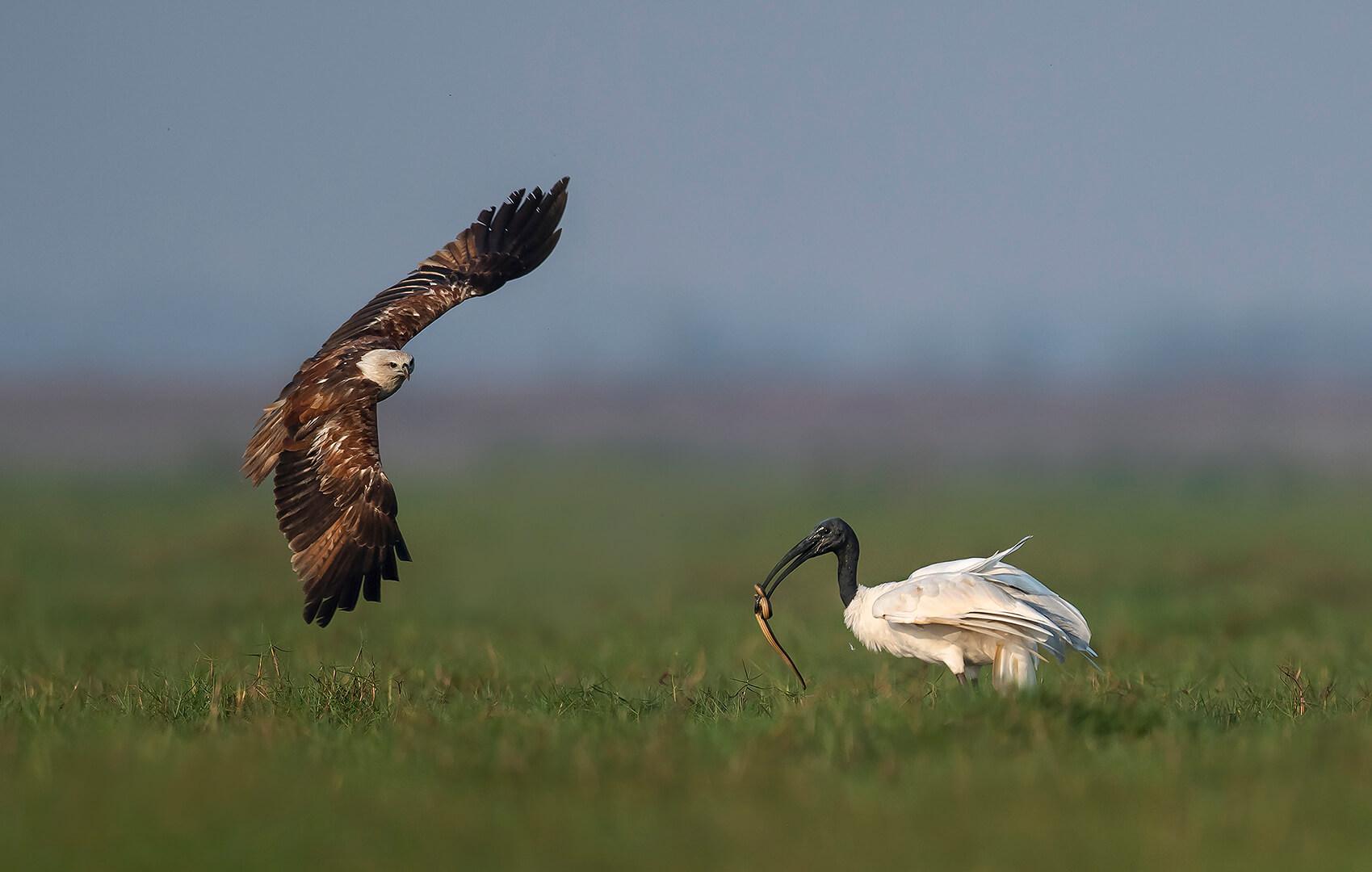 Pramod Govind Shanbhag Brahminy Kite attacking Ibis 1