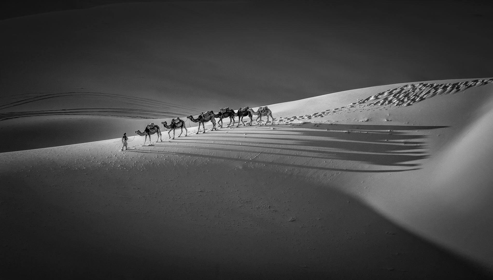 XIPING AN Camels  in  teh  desert